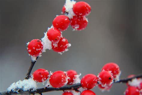 winter berries by darkstarcrashes on deviantart