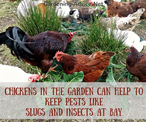 chickens in your backyard keeping chickens in the backyard 28 images keeping