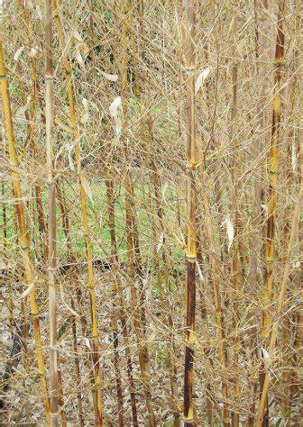 bambus erfroren  tun keine panik