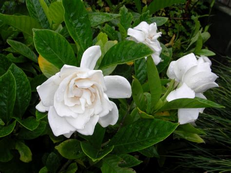 gardenia flowers gardenia flower wallpaper wallpapers9