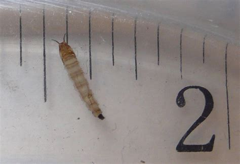 water worms in bathroom moth fly pupa found in toilet what s that bug