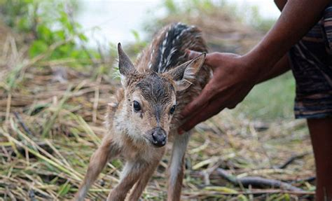 saves baby deer heroic boy risks his to save a drowning baby deer from floodwaters in bangladesh