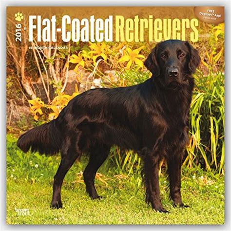 cheapest copy of flat coated retrievers 2016 square 12x12 multilingual edition by browntrout