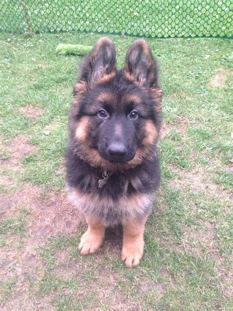 3 month german shepherd puppy 45 best the german shepherd puppy images on the germans german