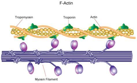protein f aktin actin sigma aldrich