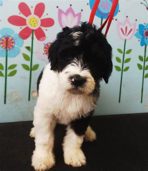 sheepadoodle puppies available now sheepadoodle puppies