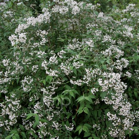 plant pictures deutzia corymbosa deutzia secondary image