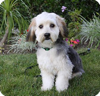 how do havanese live breed images havanese information breeds picture