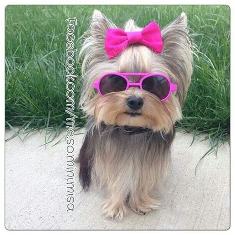 yorkie misa 1478 best yorkie images on yorkies yorkie and terriers