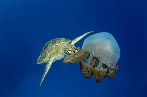 tartarughe marine alimentazione tartarughe marine