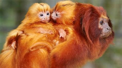 golden lion tamarin monkey giving birth to twin in