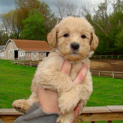poodle terrier mix puppies whoodle wheaton terrier poodle mix puppies toys poodles and