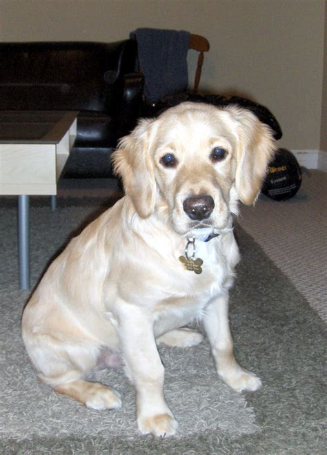 miniature golden retriever puppies past puppies