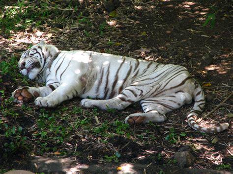 golden retriever puppies big island hawaii white bengal tiger at pana ewa rainforest zoo hilo big island hawaii home away