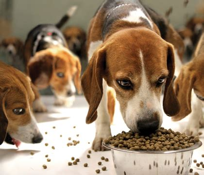 how often do puppies need to eat best food for beagles to keep them healthy