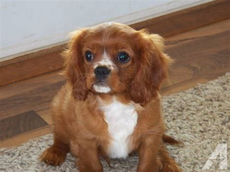 ruby cavalier king charles spaniel puppies for sale ruby cavalier king charles spaniel puppies