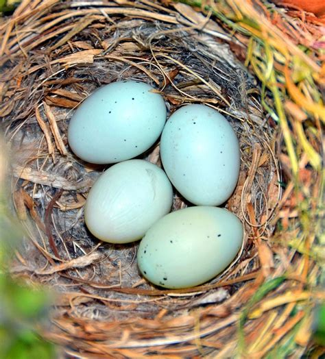house finch eggs pictures zebra finch eggs hatching www imgkid com the image kid