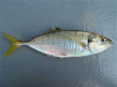 Ikan Selar ikan selar fresh prepared fish