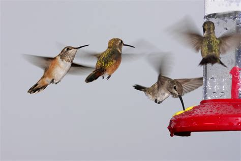 are you ready for the migration of hummingbirds
