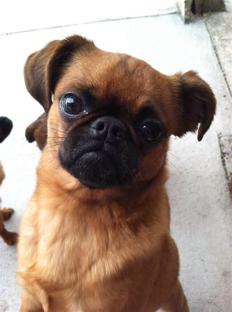 pug ancestry 17 best images about chipugs on chugs puppys and sweet