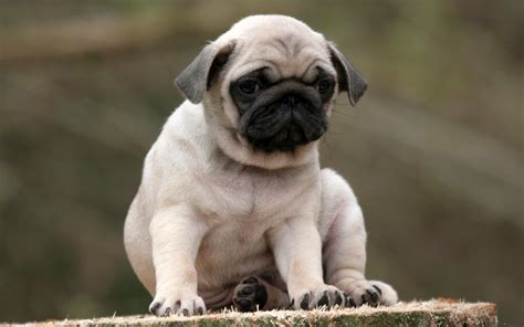 pug meaning pug wallpapers hd