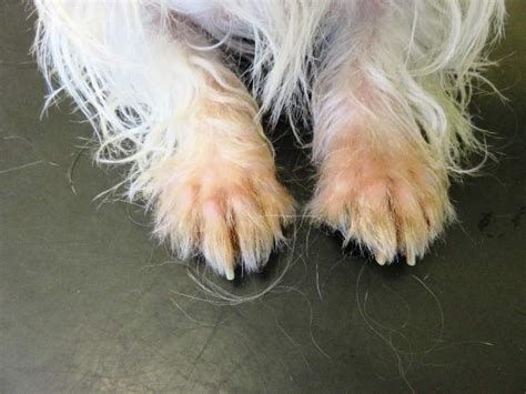 chewing paws remedy how can your vet provide itch relief for dogs dogdialog