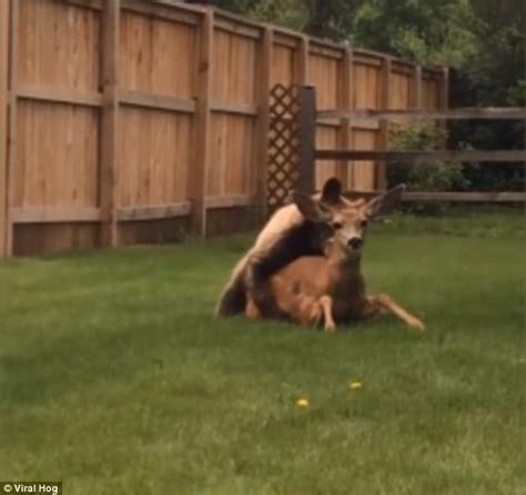 backyard video bear filmed eating deer in a garden in colorado springs