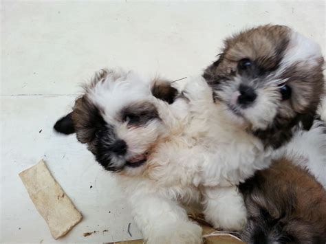shih tzu x bichon puppies shih tzu at 4 months breeds picture