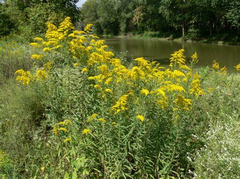 the joys of ragweed