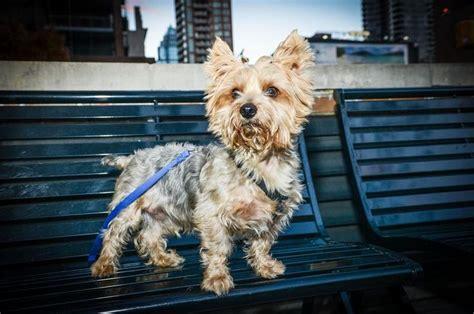 new york yorkie max a terrier http www adoptapet pet 9906046 new york new york