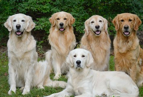 different breeds of golden retrievers golden retriever breed profile australian lover