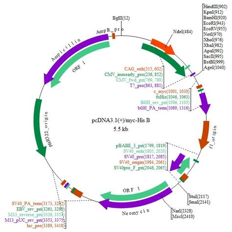 Free Plan Drawing Software download plasmid map of pcdna3 1 myc his b