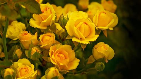 computer wallpaper yellow flower yellow flowers free hd wallpapers images backgrounds