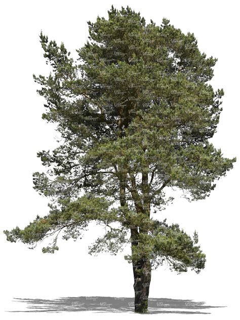 How To Make A Pine Tree Out Of Paper - cut out big pine tree cut out trees and plants vishopper