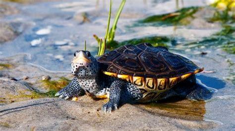 tartarughe d acqua dolce alimentazione image gallery tartarughe