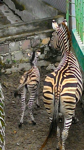 Sendal Jepit Zebra kabar gembira obama dan mercy baru punya bayi di bukittinggi mongabay co id