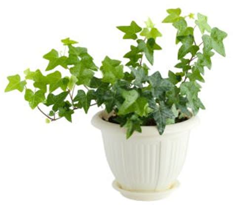common house plants poisonous to pets plants www pixshark images galleries with a bite