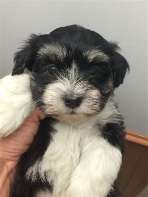 havanese breeders in new york meet nyc havanese puppies home raised puppies new york city family pet nyc