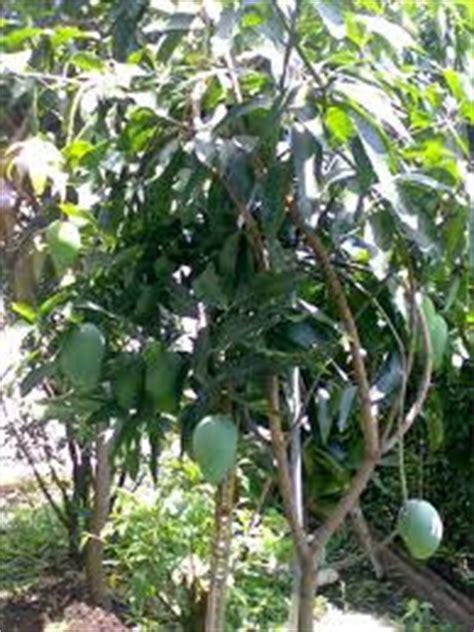 Bibit Pohon Mangga Yuwen Merah mangga indramayu bibit pohon mangga