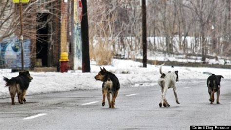 detroit rescue detroit s stray problem fought by rescue groups as abandoned animals roam streets