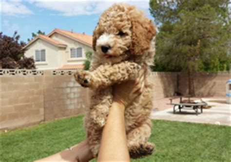 mini goldendoodles las vegas goldendoodle in las vegas breeds picture