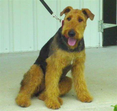 airedale puppies for sale ohio oorang airedales