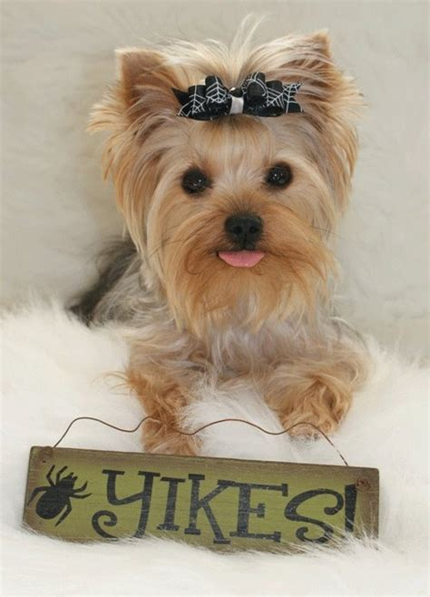 can yorkies eat cheese 47 best images about puppies yorkies on yorkie they said and pets