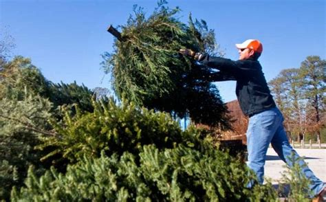 christmas tree recycling issaquah specials milberger s landscape nursery