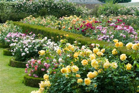 Garden Of Roses by Bay Area Tendrils David Roses New Introductions