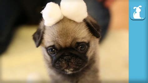the pet collective pugs wrinkly pug puppy in cotton snow land puppy pug