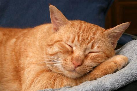 Sleeping Orange Cat file redcat 8727 jpg