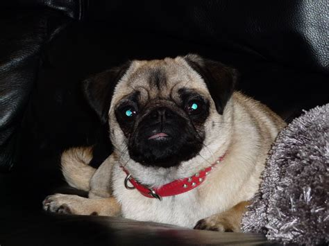 fawn pug for sale fawn pug for sale ferryhill county durham pets4homes