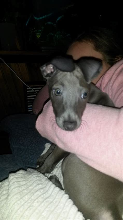 greyhound puppy for sale italian greyhound puppy for sale farnborough hshire pets4homes
