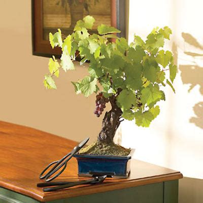 Cabernet Grapevine Bonsai It Or It by Wine Grape Bonsai The Green